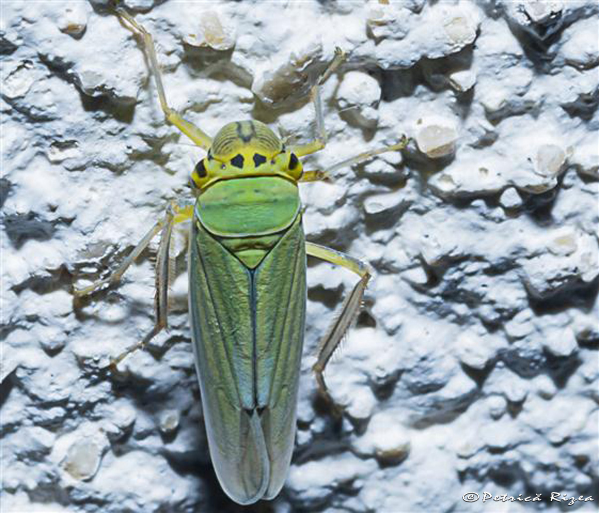 Cicadella viridis, the 'Green Leafhoppers